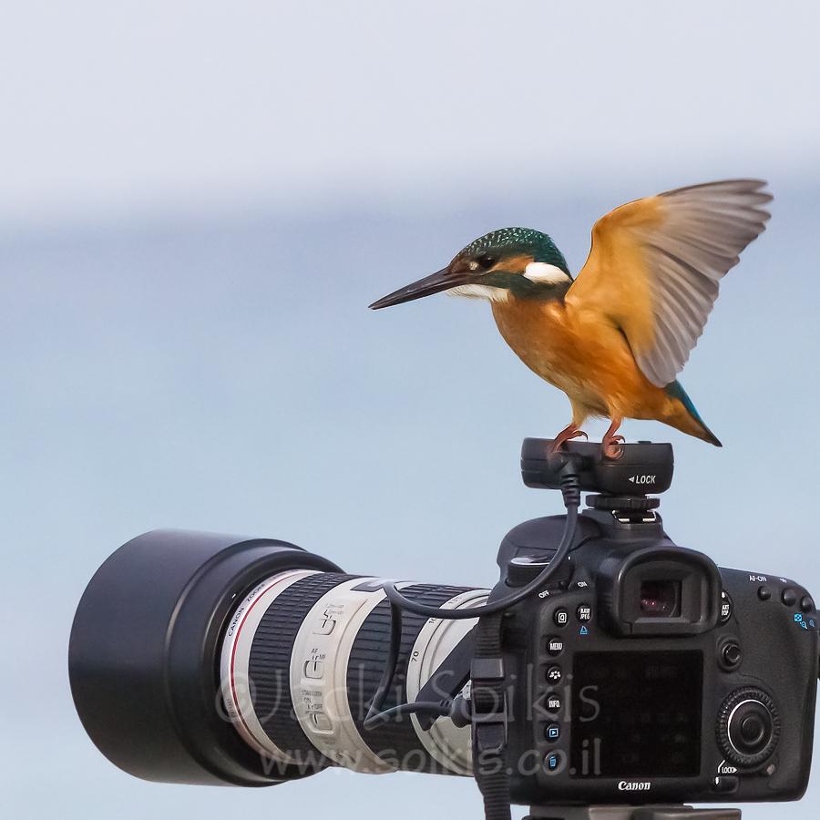השלדג הגמדי על המצלמה בתנוחה אחרת