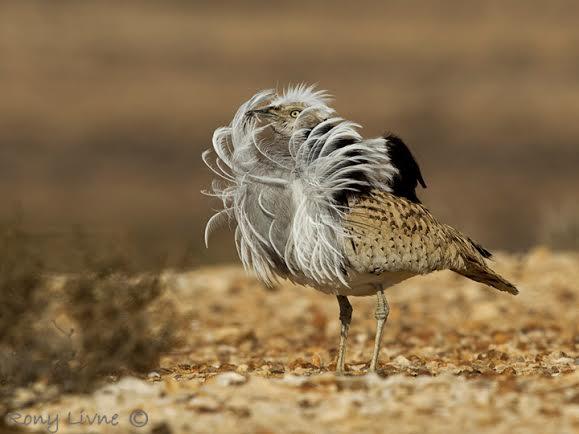 חוברה זכר, הציפור המדברית הכי גדולה בארץ . צילום רוני לבנה