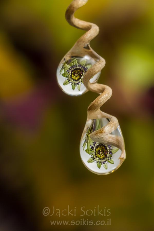 השתקפות פרח הפסיפלורה בטיפות