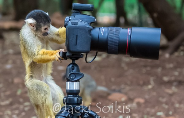 יום רע, יום קוף