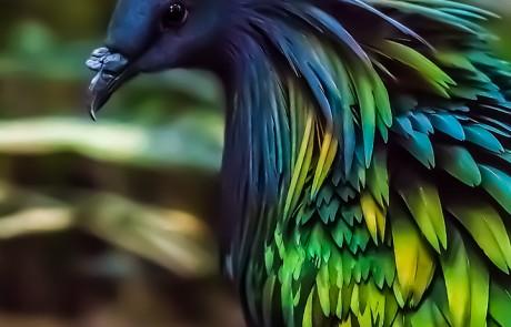 הצבעים שאני אוהב וכולם בציפור אחת – Nicobar Pigeon